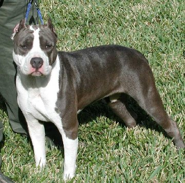 Rare Pitbull Breeds So you want to breed pit bulls